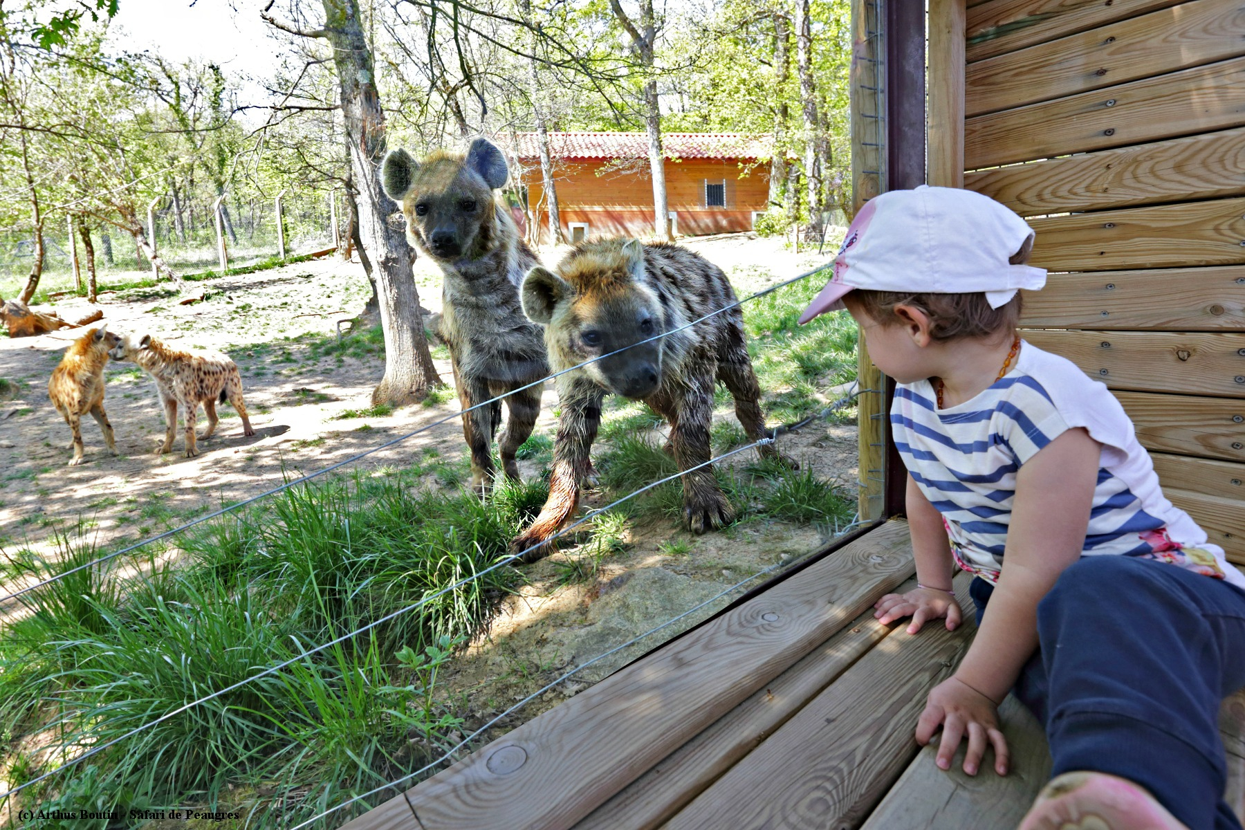safari peaugres ours voiture